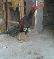 Pure aseel rooster