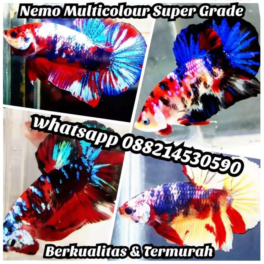 Ikan Cupang Hias Plakat Multi Koi Nemo Avatar Giant Candy Fancy Hewan Peliharaan 804911134