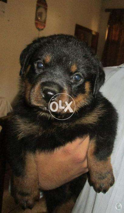 Rottweiler 1 Month Old Puppy Orignal Breed Dog Dogs 856610627 Olx
