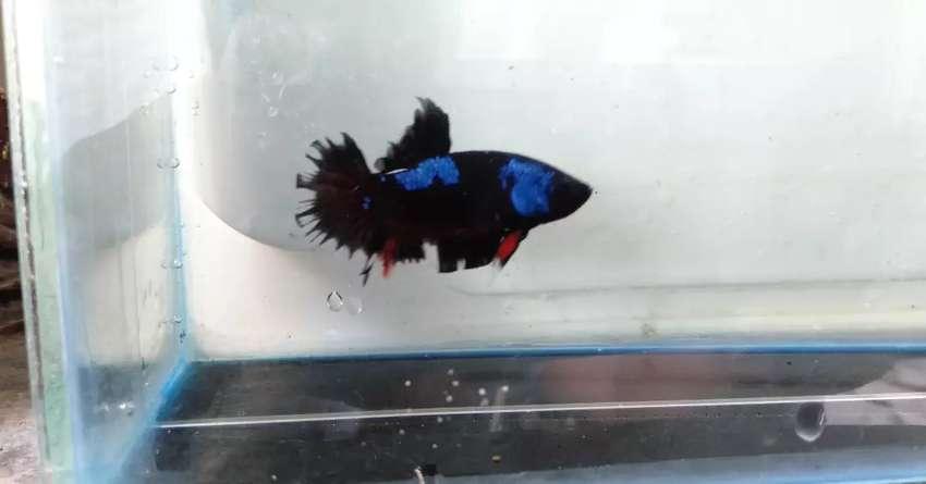 Ikan Cupang Avatar Lainnya 805283722