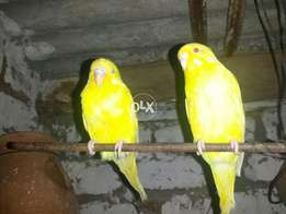 Yellow red eye breeder pair with 2 chick