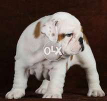(British bulldog) puppies bookings open for import