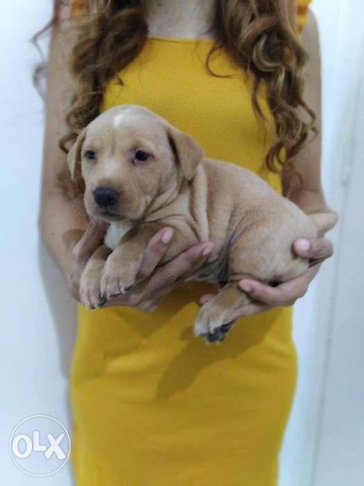 Puppy For Sale Dachshund X Mini Pinscher In Imus Cavite Olxph