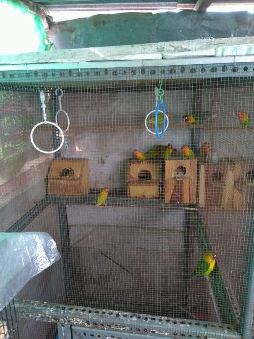 jual burung love bird