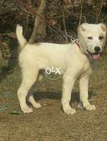 Alabai male 2 months 10 day