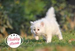 Persian kittens (Show quality)