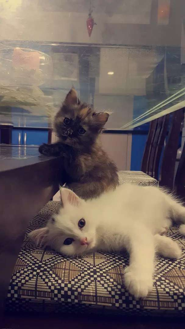 b4cb8523b8a0e7 2 female persian kittens for sale - Cats - 1004068572