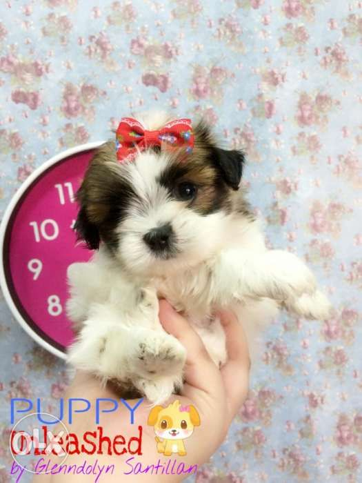 My Cute Tiny Imperial Size Male Shih Tzu Puppy For Sale In Malabon