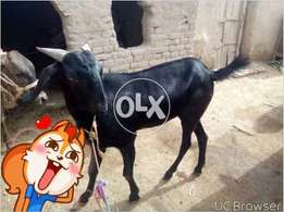 Beautiful Bakra is for sale