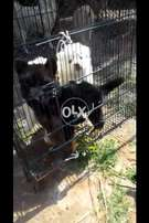 Gsd double coat female pup non pedigree from pedigree parrents