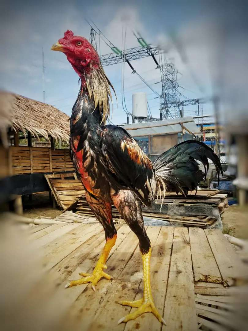 Foto Ayam Siam Super Jsecfi4w19zbmm