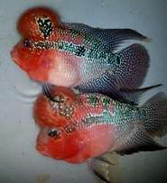 Thailand Imported Exotic Show Quality Flowerhorns for Sale! Chk Pics.