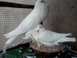 white pouter confirm breeder pair on eggs.cargo available for all cits