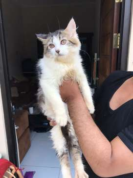 Norwegia Jual Hewan Peliharaan Kucing Terlengkap Di Jakarta D K I Olx Co Id