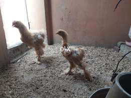 Golden cochin heavy 3 month old pair