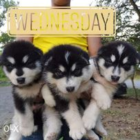 Alaskan Malamute View All Ads Available In The Philippines Olx Ph