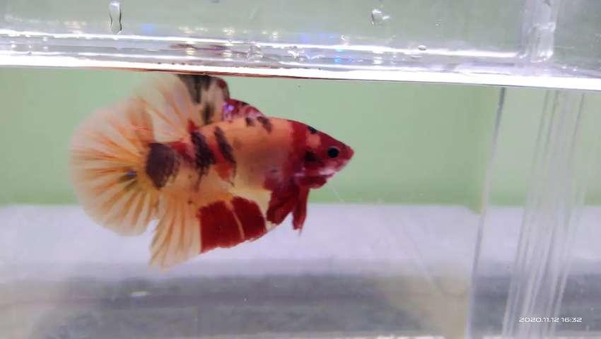 Ikan Cupang Giant Nemo Hewan Peliharaan 807487508