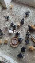 Bantam chicks avail in different ages