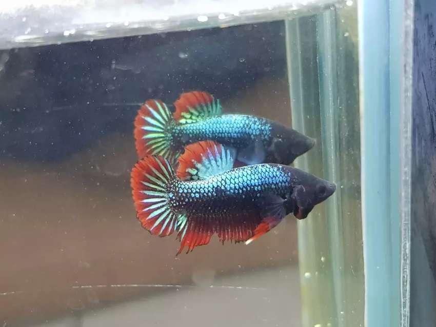 Ikan Cupang Avatar Cooper Male Hewan Peliharaan 809250823