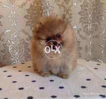 Pomeranian puppy available for new homes
