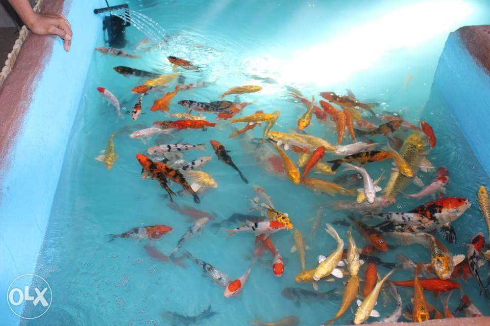 Koi Fish For Sale
