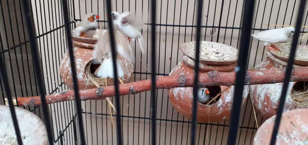 Finches - Animals for sale in Rawalpindi | OLX com pk