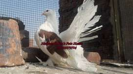 Fantail Pigeons Animals For Sale In Lahore Olx Com Pk