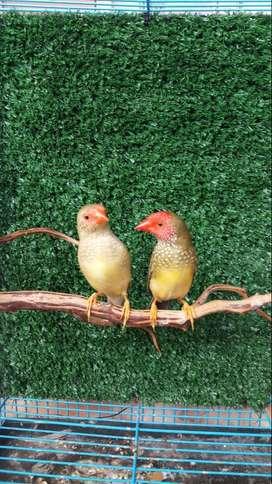 Finch Jual Hewan Peliharaan Burung Terlengkap Di Indonesia Olx Co Id