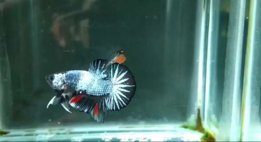 Ikan Cupang Avatar Nemo Cooper Rosetail Real Pict Hewan Peliharaan 807249911