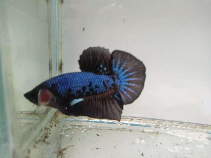 Jual Ikan Cupang Avatar Hewan Peliharaan 806748705