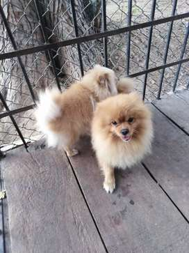 Free Classifieds Ads For Pomeranian In Lahore