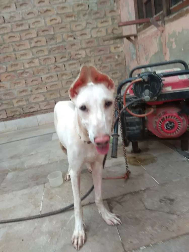 Bully - Dogs for sale in Pakistan | OLX com pk