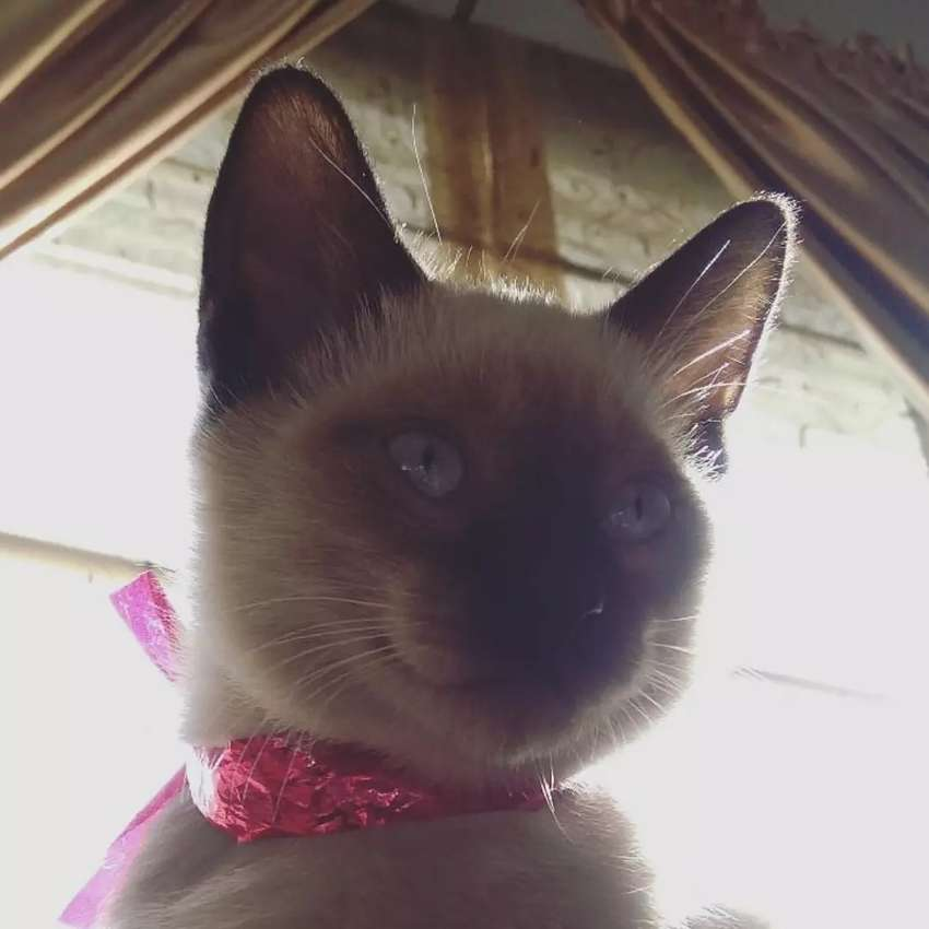 Siamese Cat Kitten For Sale In Rawalpindi Islamabad Cats 1024561385