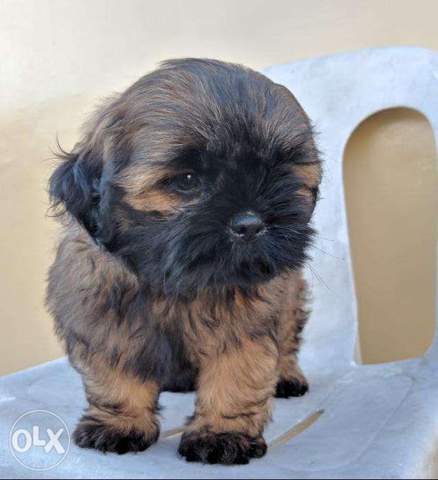 Shih Tzu Puppy Male Dark Chocolate Brown For Sale In Quezon City