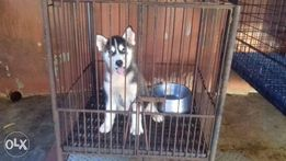 Siberian Husky Puppies View All Ads Available In The Philippines