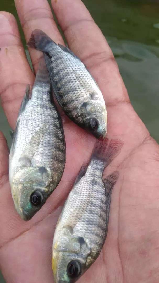 Bibit Ikan Nila Hitam Hewan Peliharaan 802742659