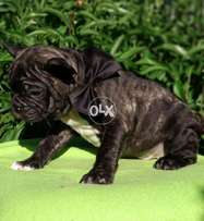 imported french bull dog
