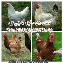 Home Breed Healthy and active Daily egg laying hens age 7 month old fo