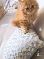 Long coated Garfield and Fawn Persian Kittens