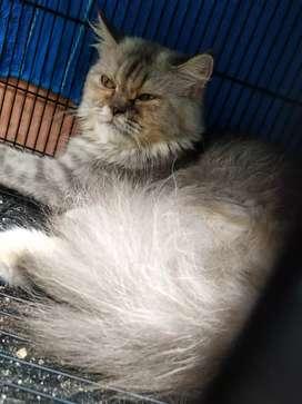 Persia Betina Jual Hewan Peliharaan Kucing Terlengkap Di Tangerang Kab Olx Co Id