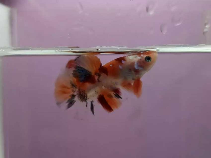 Ikan Cupang Plakat Nemo Murah Tinggal Pilih Harga Sama Hewan Peliharaan 808810267