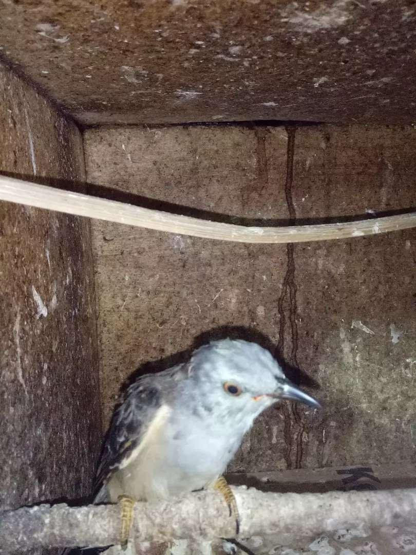 Burung Kedasih Abu Hewan Peliharaan 808695188