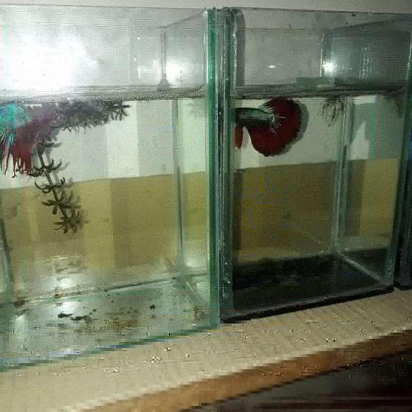 Jual Ikan Cupang Solitare Ukuran P13cm L11 T19 Hewan Peliharaan 794078007