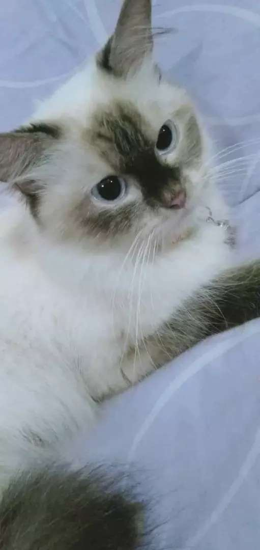 Balinese Female Cat And 3 Balinese And Persians Cross Kittens For Sale