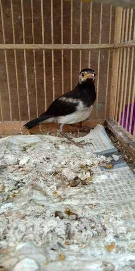 Burung Jalak Di Tangerang Kota Olx Murah Dengan Harga Terbaik Olx Co Id