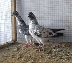 Tow chapre Pigeons Females for sale