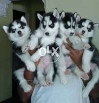 Top quality Siberian husky puppies available from champion parents