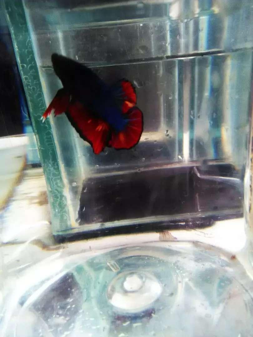 Ikan Cupang Avatar Nemo Hewan Peliharaan 805945708