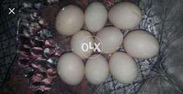 Pure aseel eggs of lakhy