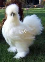 Silkies 1 Months Age(1 Finger Extra)a+